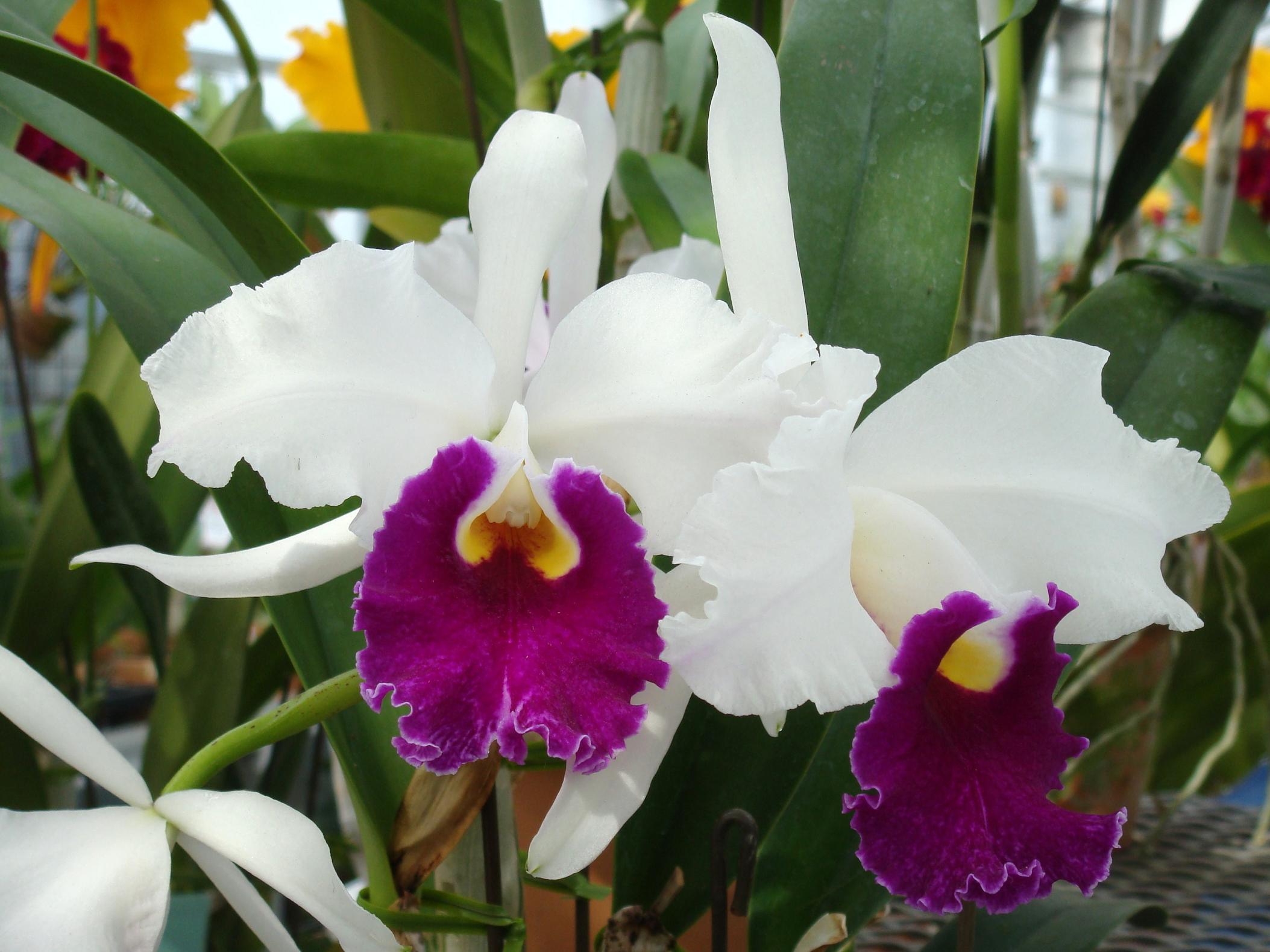 Cattleya duvaliana for Orchidea cattleya
