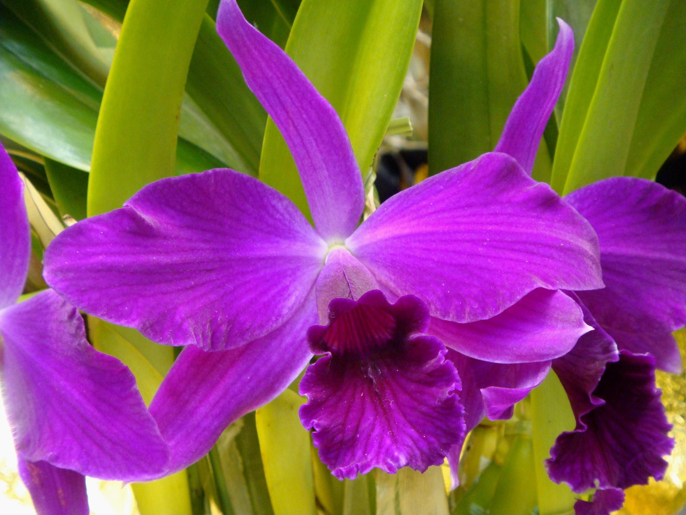 Cattleya jose pinho for Orchidea cattleya