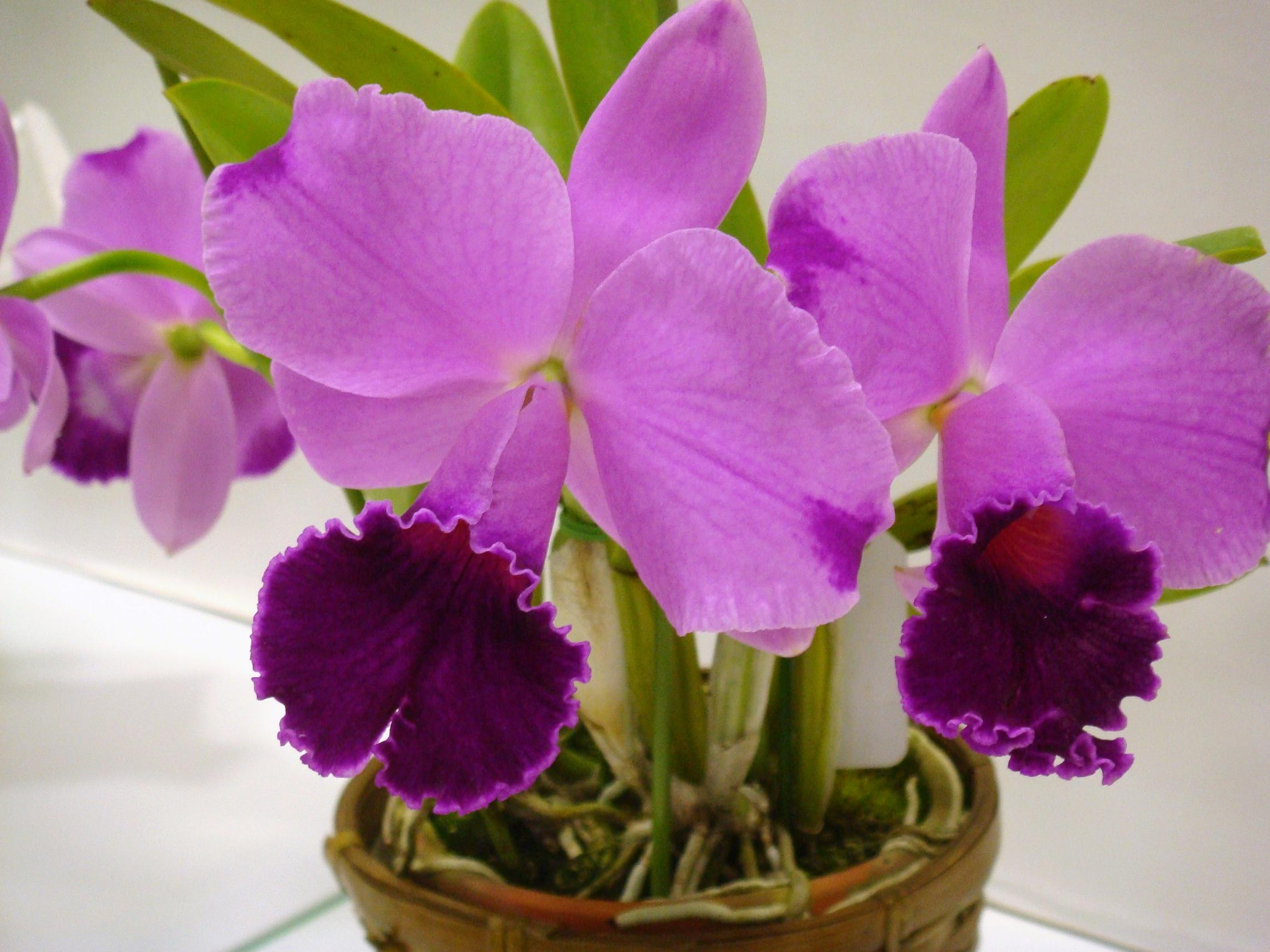 Cattleya orchid on pinterest orchids orchid flowers and for Orchidea cattleya