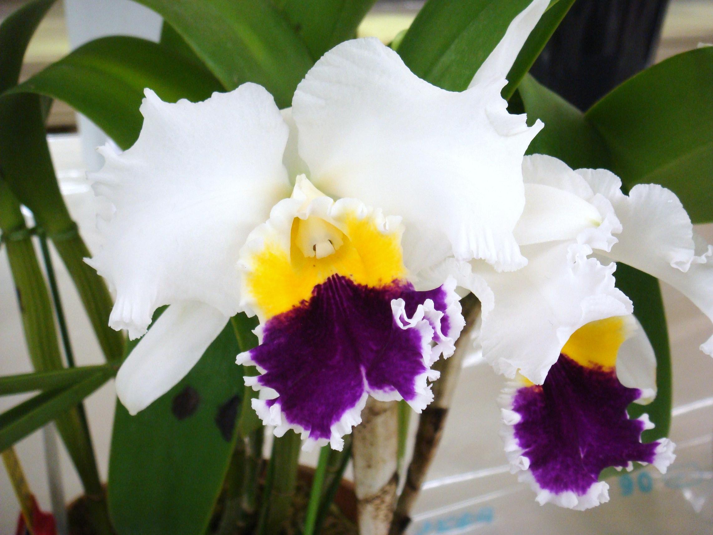 Cattleya nippon for Orchidea cattleya