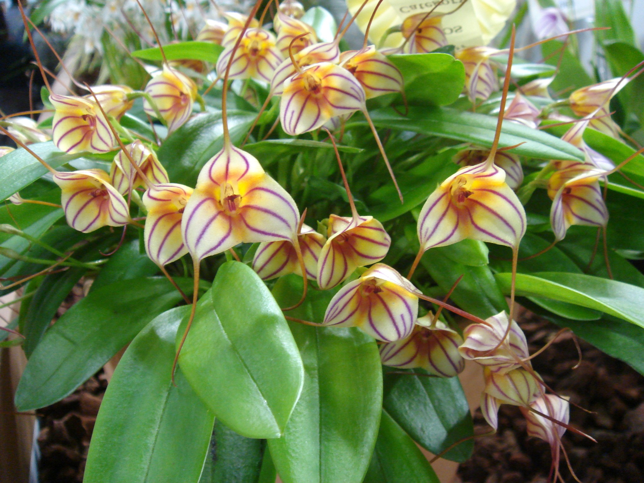 http://hybridorchid.la.coocan.jp/Masdevallia/Masdevallia%20Tuakau%20Candy/DSC06366.JPG