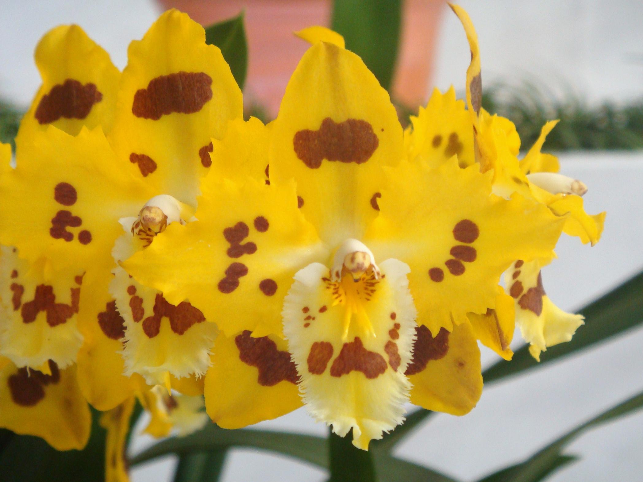 Odontoglossum Holiday Yellow