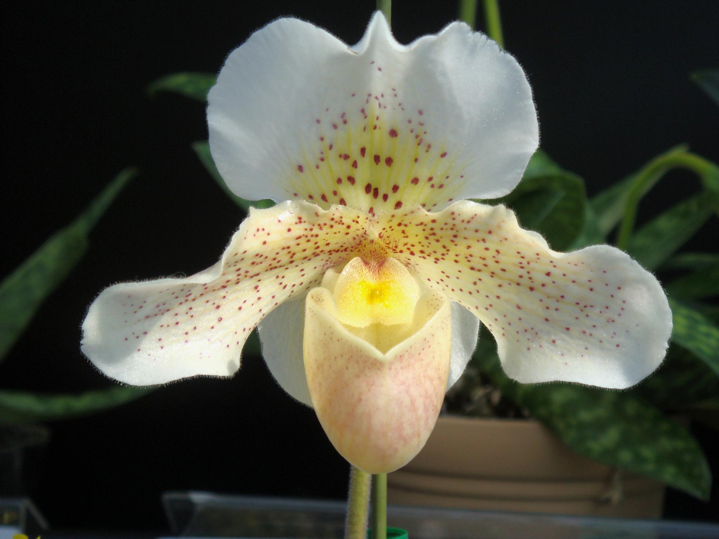 http://hybridorchid.la.coocan.jp/Paphiopedilum/Paphiopedilum%20Freckles/DSC09528.JPG