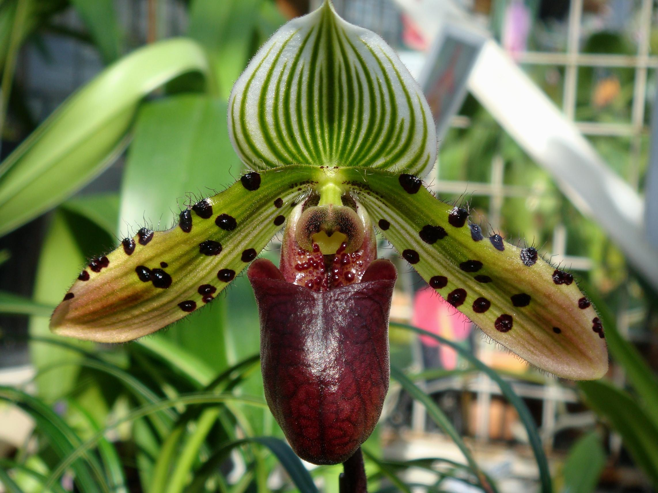 http://hybridorchid.la.coocan.jp/Paphiopedilum/Paphiopedilum%20Venus%20Rising/DSC08793.JPG